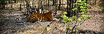 Two tigers lounge in the shade in Bandhavgarh National Park Madhya Pradesh, India.