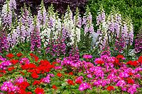 Yangzhou, Jiangsu, China.  Geraniums and Foxglove in the Slender West Lake Park Garden.
