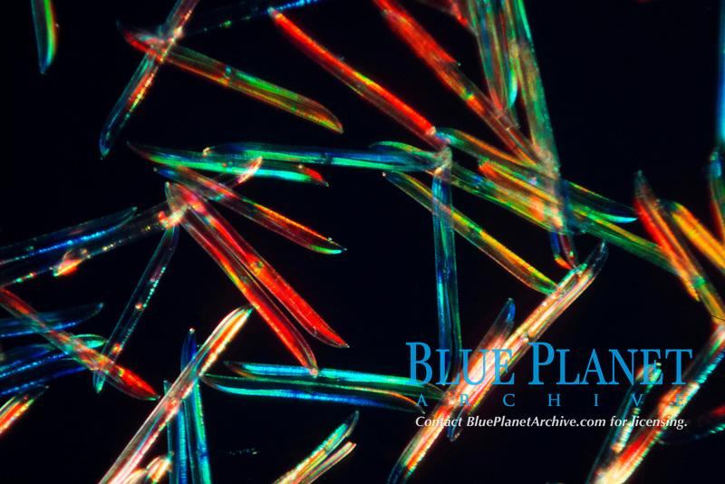 planktonic diatoms, Pleurosigma balticum, Note interference colors, Baltic Sea