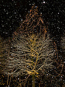 Bad Ragaz, Switzerland. Snow on tree and Christmas lights on a redwood tree behind, night shot.