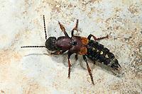 Braunroter Raubkurzflügler, Raub-Kurzflügler, Grabender Raubkäfer, Staphylinus fossor, Dinothenarus fossor, Parabemus fossor, rove beetle