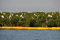 Great Egrets (Ardea alba) roosting on mangroves in a Barataria Bay nesting colony. This colony was heavily oiled by the BP Deepwater Horizon oil leak.  Plaquemines Parish, Louisiana. July 2010.