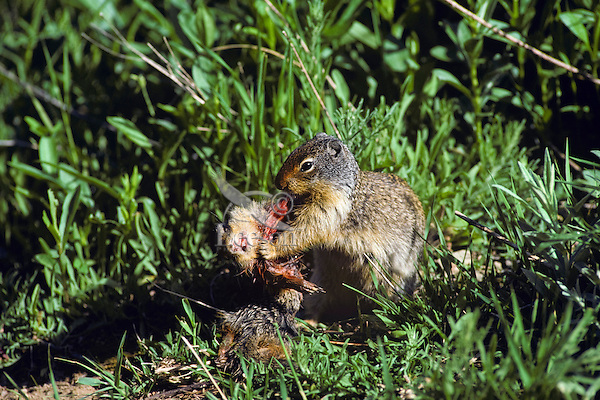 Columbian Ground Squirrel (Spermophilus columbianus) eating another (cannibalism), Western U.S., summer.