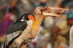 Adult Greater Adjutant swallowing poultry bones at Boragaon Landfill. Assam, India.