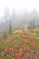 Huckleberry in fall color with forest and fog. Mt. Baker Wilderness. Washington