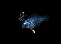 larval dusky flounder, Syacium papillosum, photographed during a blackwater drift dive in open ocean at 20-40 feet with bottom at 500 plus feet below, Palm Beach, Florida, USA, Atlantic Ocean