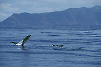 common dolphins, Delphinus delphis, Sao Jorge Is., Azores Islands, Portugal (North Atlantic Ocean)