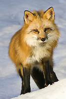 Red Fox standing on just the other side of a hill - CA