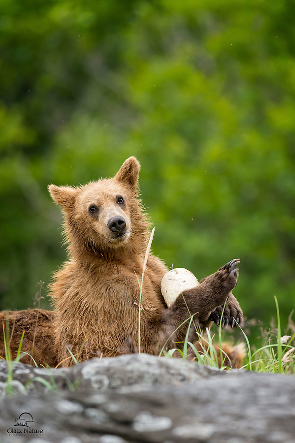 Coastal Brown Bear (Ursus arctos), about 18 months old, with his new friend.  The bear dug the buoy out from underneath a couple rocks, and then cradled it almost like a doll.  Kukak Bay, Katmai National Park, Alaska.