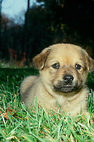 Chow breen puppy laying in grass at dusk with funny earnest face