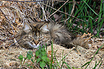 Feral cat with eyes closed laying in straw bed near fallen branches.