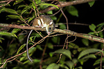 Nocturnal arboreal tuft-tailed rat (Eliurus sp.) active at night. Masoala National Park, north east Madagascar.