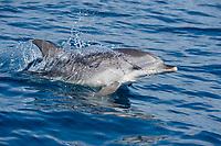 Atlantic spotted dolphin, Stenella frontalis, calf, porpoising, La Gomera, Canary Islands, Spain, Atlantic Ocean