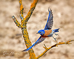 Western Bluebird (Male).  We've had a fairly dry winter so far in Arizona, which means that the local wildlife tends to congregate near the few, shrinking water holes that we have left around here.  This dapper fellow was showing off his colors near a stock tank in the Beaverhead Flat area, on the gentle slopes of House Mountain, an ancient volcano south of Sedona.<br /> <br /> Image ©2021 James D. Peterson