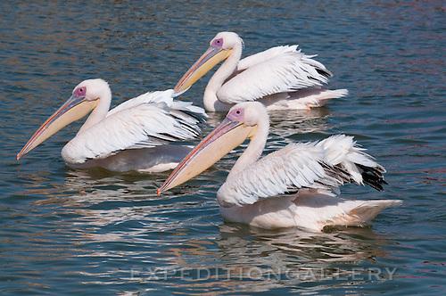 Eastern white pelican (Pelecanus onocrotalus), Walvis Bay, Namibia, Africa.