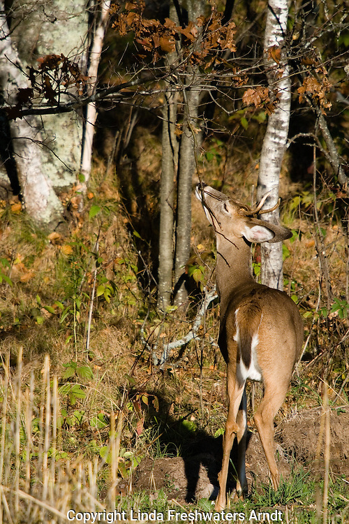 White-tailed buck (Odocoileus virginianus) rubbing on licking branch