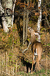 White-tailed buck (Odocoileus virginianus) rubbing on licking branch