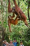 Female Bornean orang-utan (Pongo pygmaeus) with infant,and tourists watching. Camp Leakey, Tanjung Puting NP, Kalimantan, Borneo.