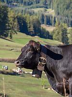 Kühe, bei Flan, Scuol, Unterengadin, Graubünden, Schweiz, Europa<br /> Cattle near Flan, Scuol, Engadine, Grisons, Switzerland