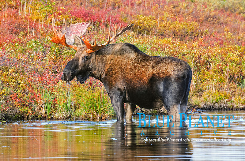 Bull Moose (Alces alces) in the early morning, eating grasses from the ground of a beaver pond, Denali National Park, Alaska