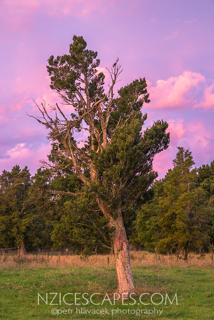 Twilight with old totara tree on farmland in Whataroa, South Westland, West Coast, New Zealand, NZ