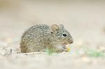 Texas, Rio Grande Valley, Santa Clara Ranch, Hispid Pocket Mouse Eating Corn