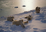 A group of Polar Bears gather on the snow in Northern Canada.