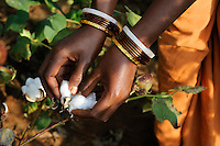INDIA Odisha, village Kodesu, fairtrade cotton farmers of Agrocel near Rayagada, woman picks cotton / INDIEN Orissa Raygada, fairtrade Baumwollbauern von Agrocel, Dorf Kodesu, Farmerin Meneka Bidiki 23 Jahre pflueckt Baumwolle