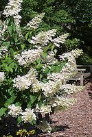 Hydrangea paniculata 'Grandiflora' in flower in the garden