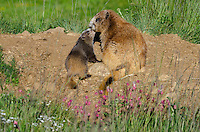Olympic Marmots (Marmota olympus)--mother with young near den hole.  Olympic National Park, WA.  Summer.