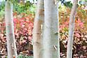 White-barked Himalayan birch (Betula utilis var. Jacquemontii 'Sauwala White'), mid October.