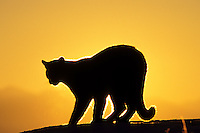 Mountain Lion or Cougar (Felis conclolor).  Western U.S., winter sunrise.