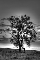 Lone cottonwood tree on the prairie