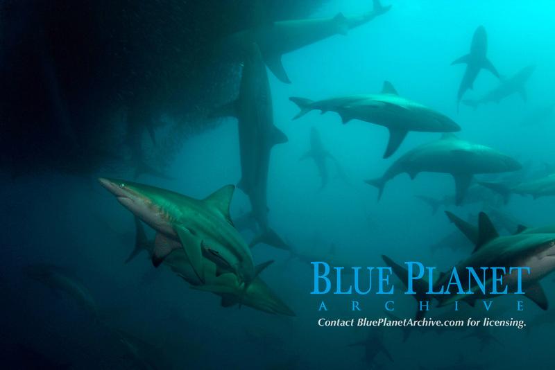 bronze whalers, or copper sharks, Carcharhinus brachyurus, and blacktip sharks, Carcharhinus limbatus, feeding in baitball of sardines, Sardinops sagax, Transkei, South Africa (Indian Ocean) (do)