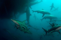 bronze whalers, or copper sharks, Carcharhinus brachyurus, and blacktip sharks, Carcharhinus limbatus, feeding in baitball of sardines, Sardinops sagax, Transkei, South Africa (Indian Ocean) (do)