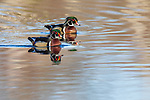 Drake wood ducks in northern Wisconsin.