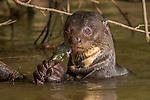 Giant otter(s), Pantanal, Brazil