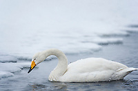 Whooper Swan searching for a meal during a snowstorm.  Northern Japan.