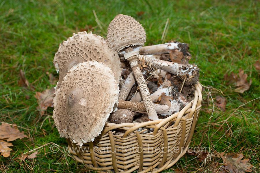 Parasol, Parasolpilz, Riesenschirmling, Riesen-Schirmling, Riesenschirmpilz, Pilzernte, Pilze in Korb, Macrolepiota procera, Lepiota procera, parasol mushroom