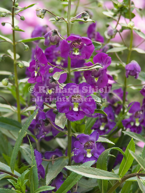 AngelFace Blue Angelonia