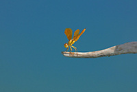 304570006c a wild mexican amberwing dragonfly perithemis intesa perches on a branch near el centro imperail county california united states