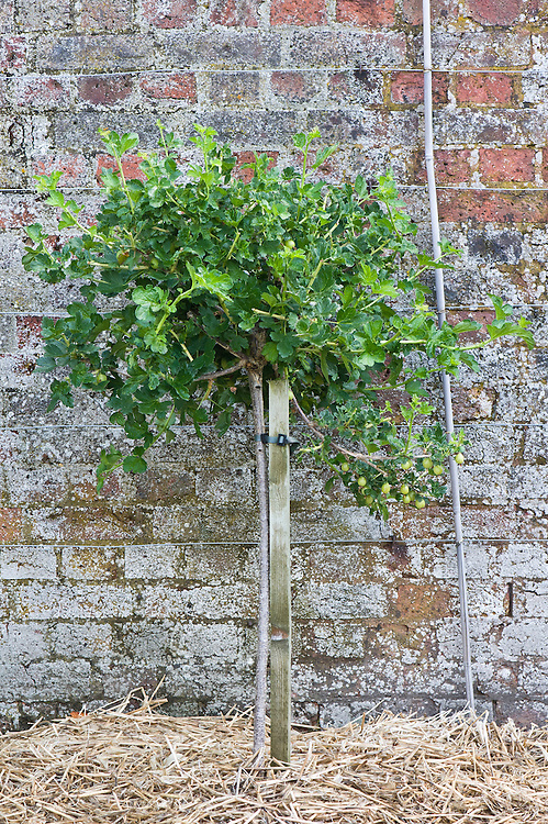 Gooseberry 'Invicta' grown as a standard, mid June.