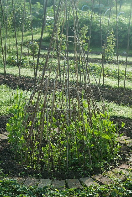 Sweet peas climbing up a wigwam of hazel poles and sticks, early June.