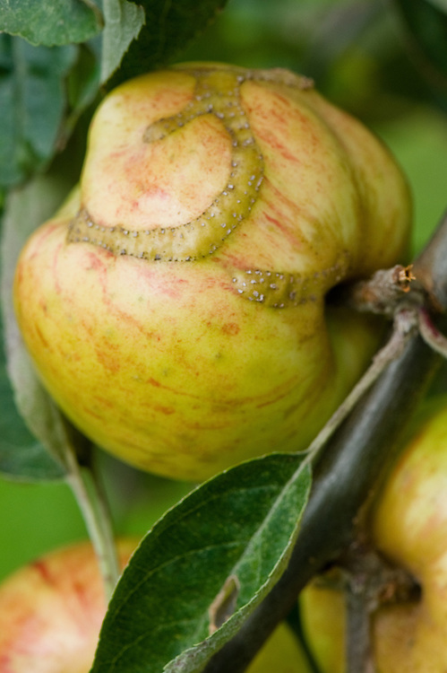 Ribbon-like, raised scar on the skin of Apple 'Guldborg', early September. The scar indicates where a young apple sawfly maggot has hatched and fed just below the surface.