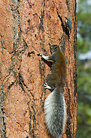 Abert's Squirrel or tassel-eared squirrel (Sciurus aberti) feeding (licking) on sap flowing from a woodpecker/sapsucker hole in side of ponderosa pine tree.  South rim of Grand Canyon, Arizona.  Pygmy Nuthatch (Sitta pygmaea) waiting turn at sap area.