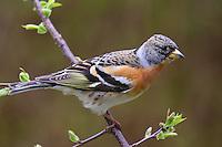 Bergfink, Berg-Fink, Männchen, Fringilla montifringilla, brambling, Pinson du Nord