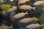 Smallmouth Grunt swimming left medium shot