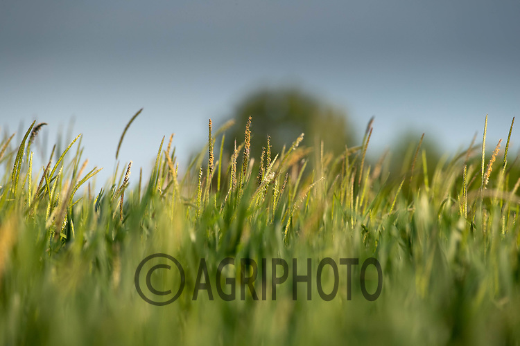 2-6-2021 Black-grass<br /> ©Tim Scrivener Photographer 07850 303986<br />      ....Covering Agriculture In The UK....