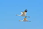 332 Whooping Cranes - FL