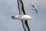 Black-browed albatross (Thalassarche melanophris) in flight. South Atlantic Ocean between The Falklands and South Georgia.
